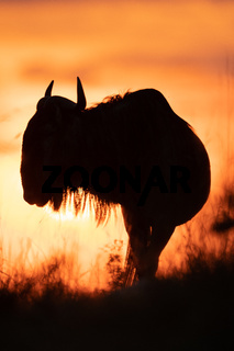 Silhouette of blue wildebeest against sunset sky