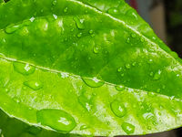 Leaves of Passion Fruit