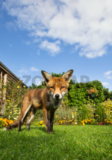 Red fox standing on the lawn in the garden