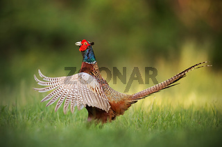 Male common pheasant, phasianus colchicus rooster showing off.