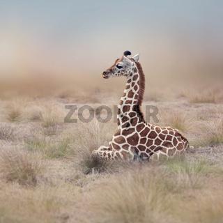 Young Giraffe resting