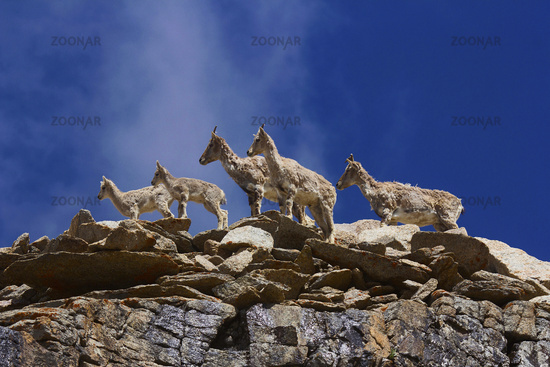 Bharal or Himalayan blue sheep or naur, seudois nayaur, Khardung village, Jammu and Kashmir