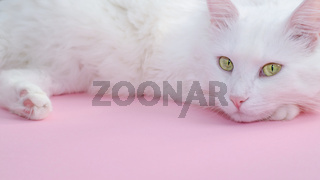 Delicate pastel pink background with a place for text below and a fluffy white cat on top.