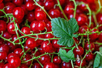Ripe juicy red currant berries. horizontal photo. Flat lay. Food concept.