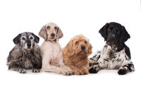 Four dogs on white background