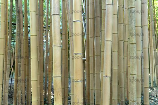 Fresh brown bamboo