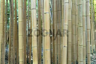 Frischer brauner Bambus