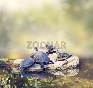 Florida Turtles Sunning on the rocks