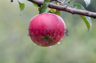 Apples, apple tree. Red apple on the tree.