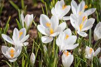 White crocuses blooming in spring on flowerbed