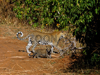 Mother leopard and baby walking across a track