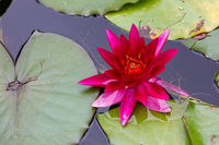 red water lilly with leafs in small pond