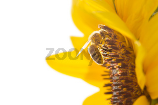 Honeybee collecting nectar from a beautiful yellow sunflower isolated on white background.. Ecology, environment and gardening concept.