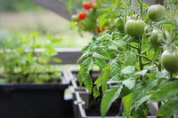 Vegetable garden on a terrace. Tomatoes seedling growing in container