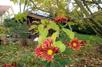 Astern-Hybriden (Aster spec.) im herbstlichen Garten