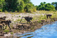 The baboons at a watering place