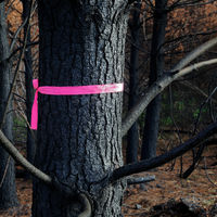 Pink ribbon tied to a burned and charred pine tree, New Zealand.