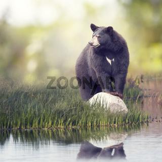Black Bear near water