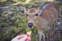 feeding a deer, a deer eats special cookies from its hands, Nara, Japan