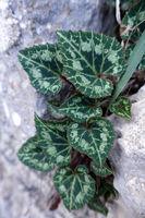 Leaves of cyclamen, probably Cyclamen graecum ssp. anatolicum