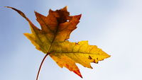Isolated maple leaf with the colors of fall aginst sky