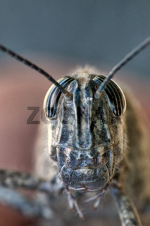 Macro front of grasshopper head