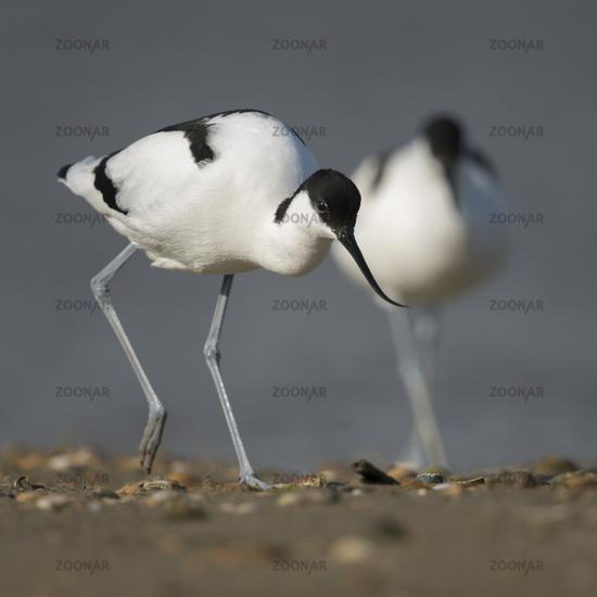 Pied Avocet * Recurvirostra avosetta *