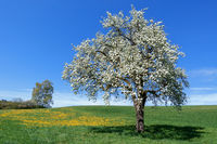 Lush blooming pear tree in a meadow with dandelion