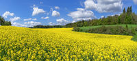 Picturesque flowering rapeseed field