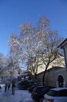 Platanus acerifolia, Plane tree