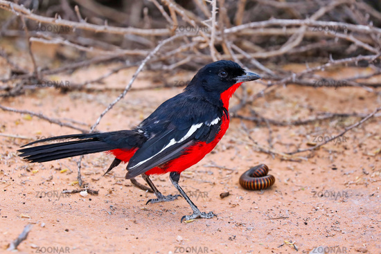 crimson-breasted shrike with a giant millipede, Kgalagadi Transfrontier National Park, South Africa