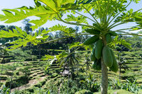 papaya tree with tegalalang rice terrace