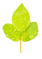 Three Wet Green Leaves Isolated Photo