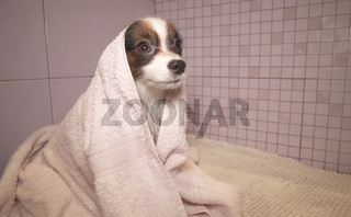 Papillon dog in towel after bathing in the bathroom