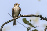 Spotted Flycatcher (Musciapa striata)o