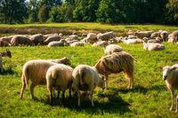 Sheep herd in the Dosenmoor in Schleswig-Holstein, Germany