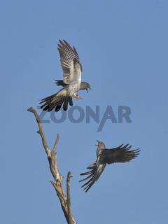Common Cuckoo, Cuculus canorus, Kuckuck