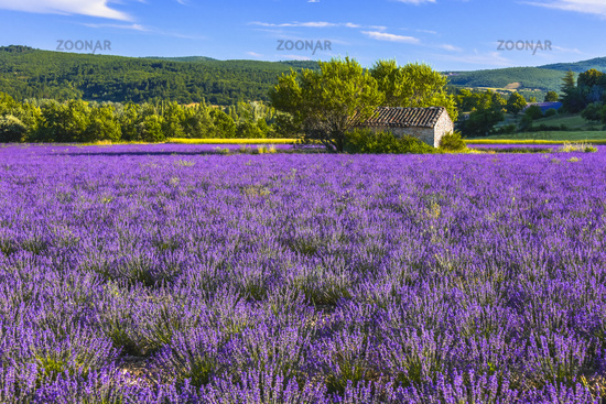 landscape panorama with large lavender field and stone hut