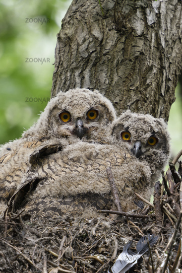 Eurasian Eagle Owl * Bubo bubo *, young chicks sitting in an elevated nest in a tree
