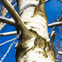 White trunk of a birch tree and blue sky