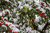 Rose-ringed parakeet on a branch in winter