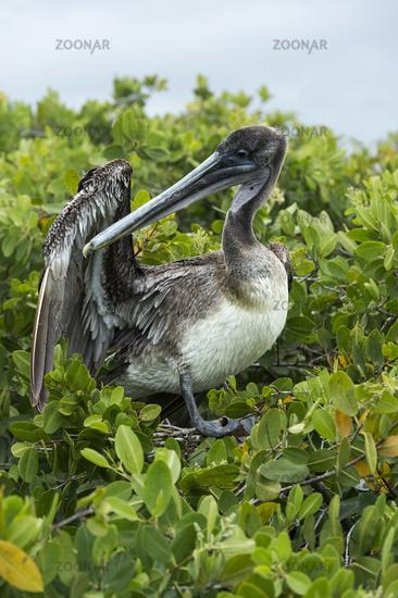 Brown Pelican (Pelicanus Occidentalis urinator) preening its feathers, Galapagos Islands, Ecuador