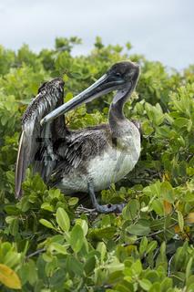 Brauner Pelikan (Pelicanus Occidentalis urinator) putzt sein Gefieder,Galapagos Inseln, Ecuador