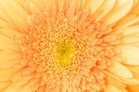Macro photo of gerbera flower