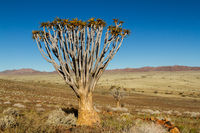 Single quiver tree in Namibia 1