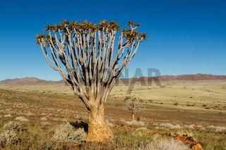 Einzelner Köcherbaum in Namibia 1
