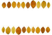 Buchenblätter (Fagus) mit Herbstfärbung und Textfreiraum