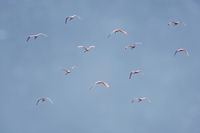 Roseate Spoonbills Flying