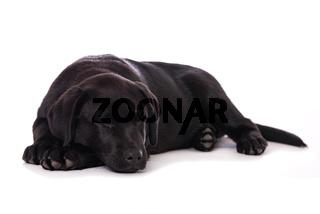 Sleeping labrador puppy isolated on white background