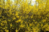 forsythia shrub, flowering branches